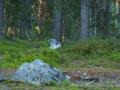 008 baeren finnland