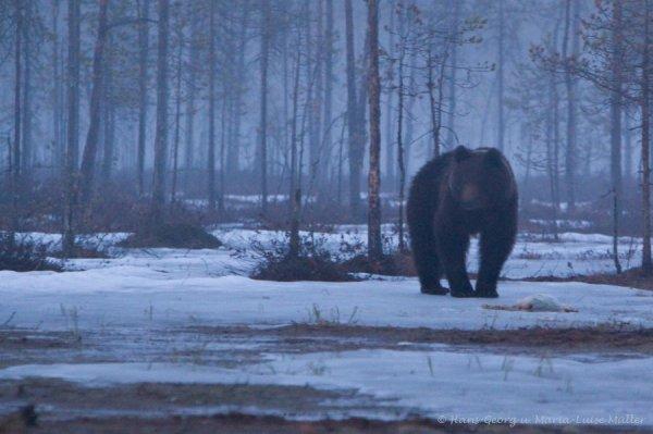 bär,ca.21.23 uhr-finnland-5_2009