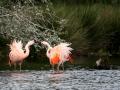 002 flamingos