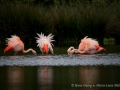 003 flamingos