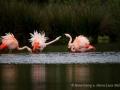004 flamingos