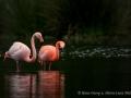 005 flamingos