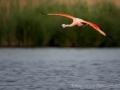 006 flamingos