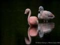 013 flamingos