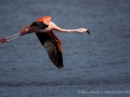 016 flamingos