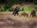 001 wildschwein