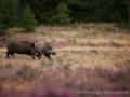 012 wildschwein