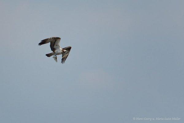 6fisch-und-seeadler