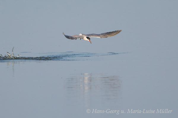 001flussseeschwalbe