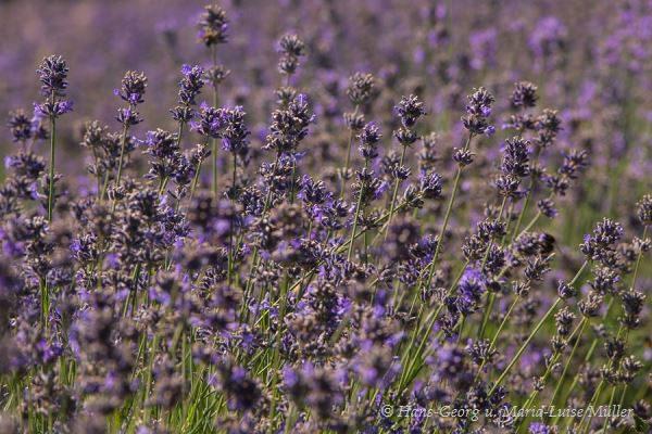 001 lavendel in deutschland
