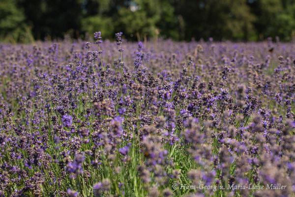 018 lavendel in deutschland