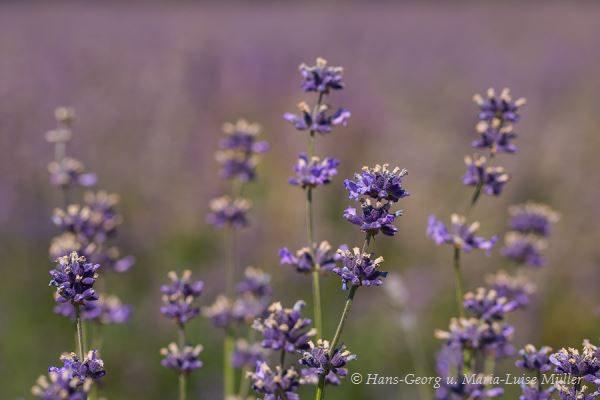 022 lavendel in deutschland