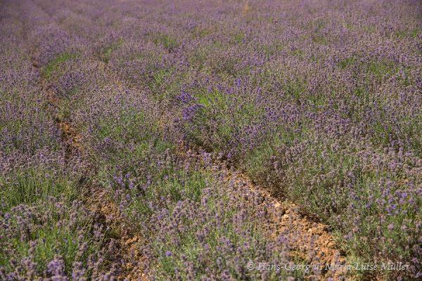 039 lavendel in deutschland